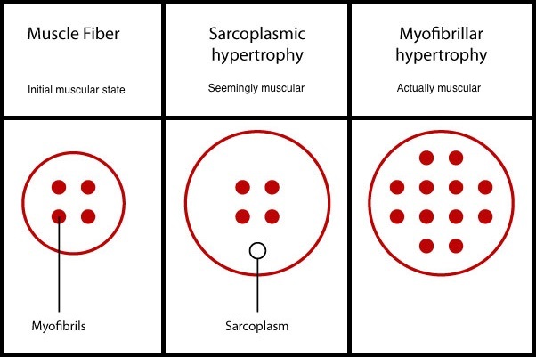 sarcoplasmic-hypertrophy-vs-myofibrillar-hypertrophy